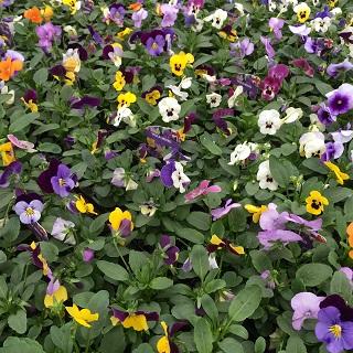 Viola Mixed