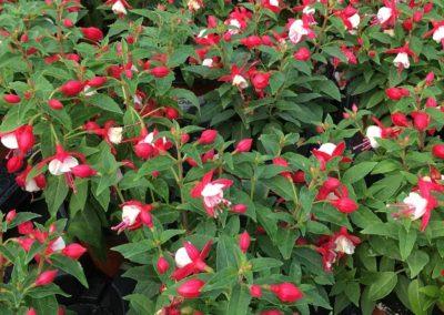 Fuchsia 13cm Pots