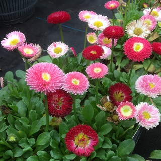 Bellis Mixed