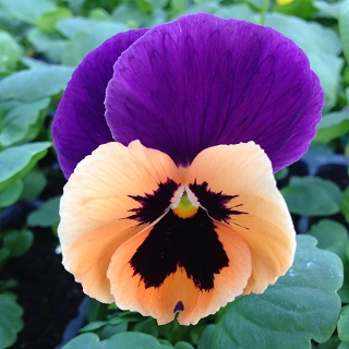 Pansy Orange and Purple