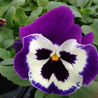 Pansy Purple and White