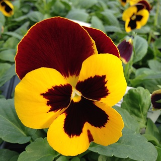 Pansy Red Wing