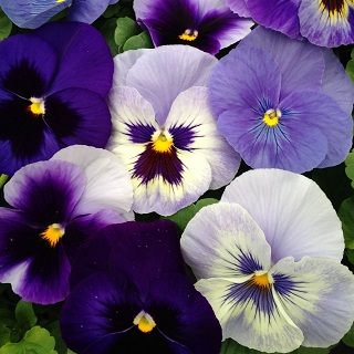 Pansy The Blues