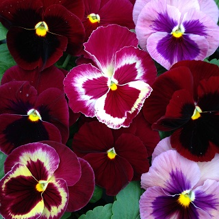 Pansy The Reds