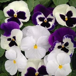 Pansy The Whites