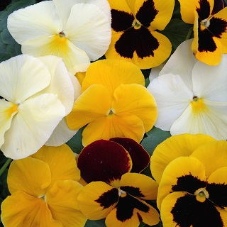 Pansy The Yellows