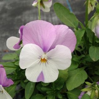 Viola Pink Wing