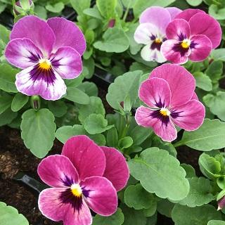 Viola Raspberry