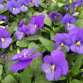 Viola True Blue