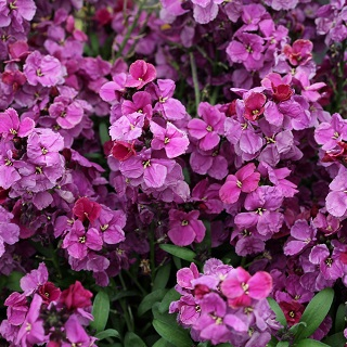 Wallflower Purple Bicolour
