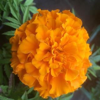 African Marigold Orange