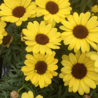 Argyranthemum Grandaisy Bright Yellow