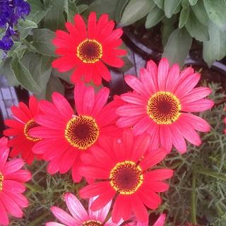 Argyranthemum Grandaisy Red