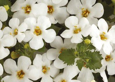 Bacopa Giga White