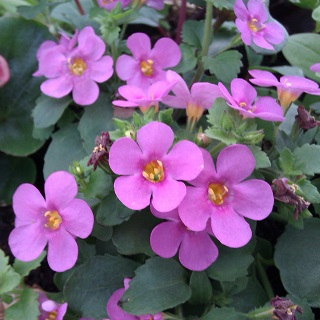 Bacopa Pink Sand