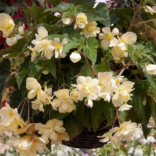Begonia SuperCascade Vanilla