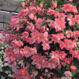 Begonia Supercascade Pink Bicolour