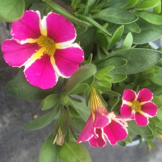 Calibrachoa Starlight Pink