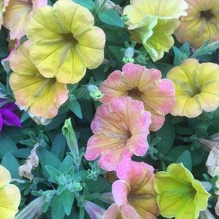 Cascadia Indian Summer - Trailing Petunia