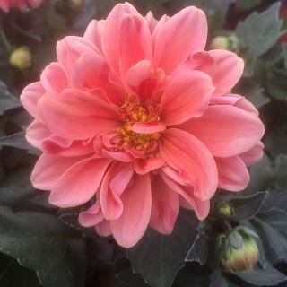 Dahlietta Lily