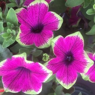 Designer Buzz Purple - Trailing Petunia