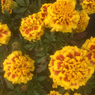 French Marigold Bee