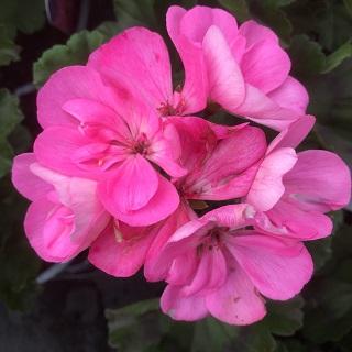 Geranium Bella Pink