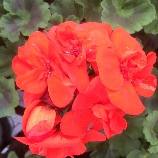 Geranium Bella Red