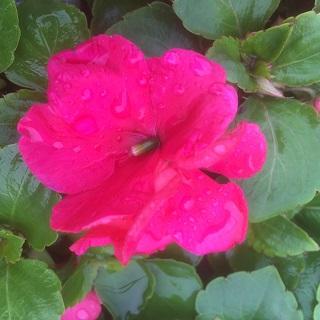 Impatiens Rose