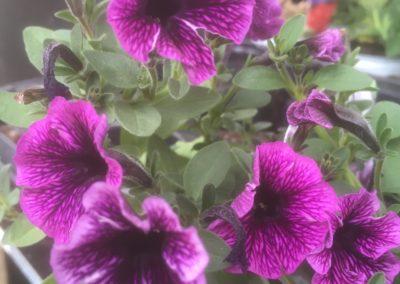Littletunia Blue Vein - Mini Trailing Petunia