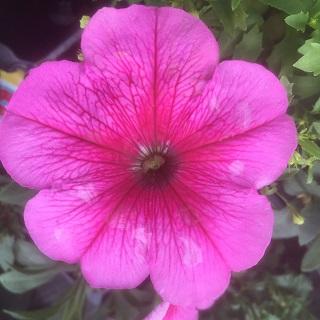 Petunia Pink Vein
