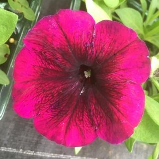 Petunia Violet