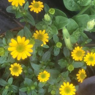 Sanvitalia Yellow
