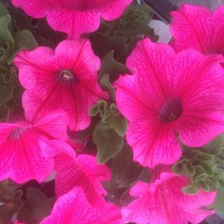 Surfina Crazy Pink - Trailing Petunia