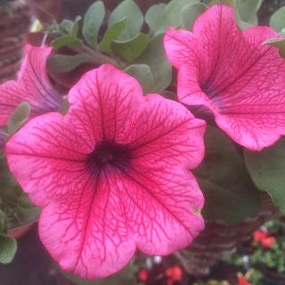 Surfina Hot Red - Trailing Petunia