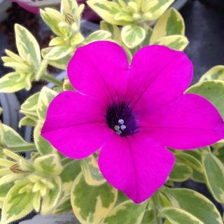 Surfinia Variegated Purple