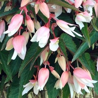 Trailing Begonia Angels White