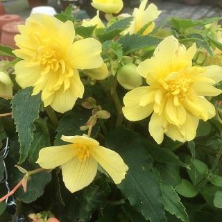 Trailing Begonia - Tenella Yellow