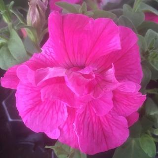 Tumbelina Candyfloss - Double Trailing Petunia