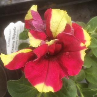 Tumbelina Crazy Ripple - Double Trailing Petunia
