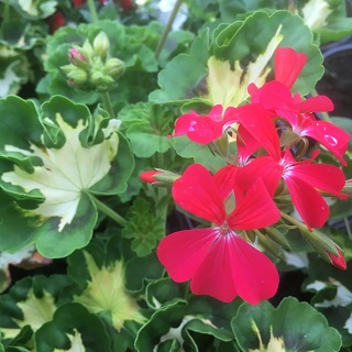 Variegated Geranium Happy Thought Red