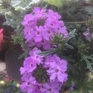 Verbena Victory Lavender