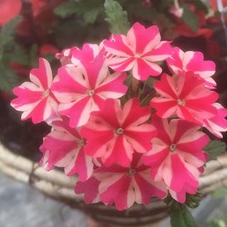 Verbena Victory Rose Star